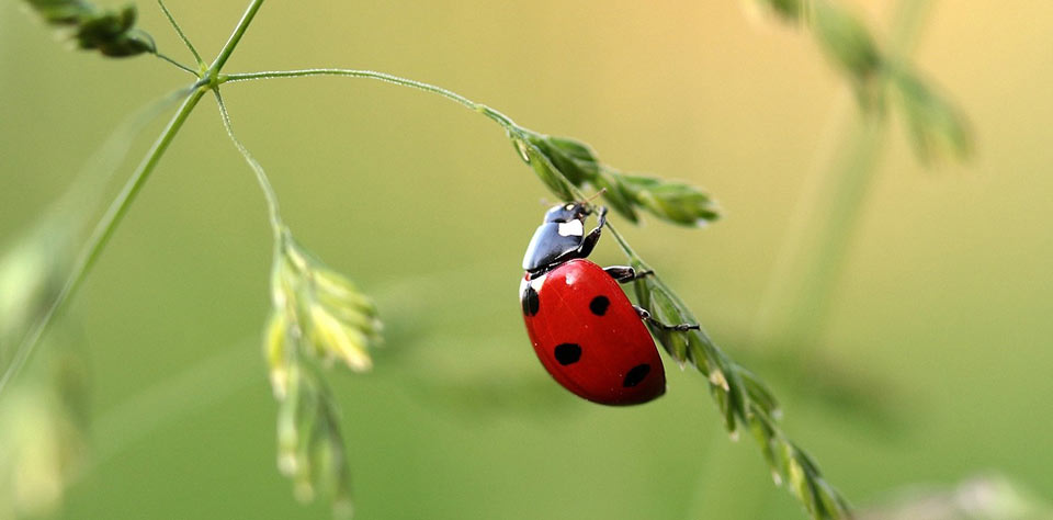 NBS30-ladybug